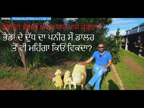 Episode 119 | Pendu Australia | Sheep Milking Process