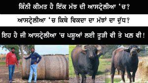 Episode 170 | Pendu Australia | Buffaloes Dairy Farm in Australia